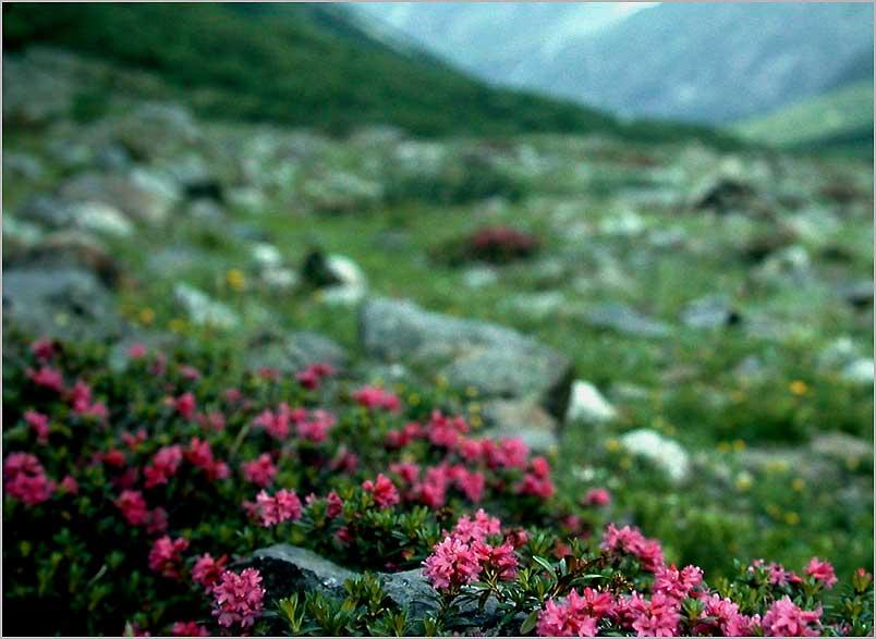 alpine rose july rain