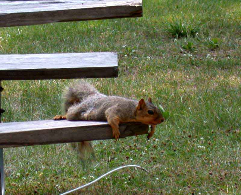 lazy-squirrel