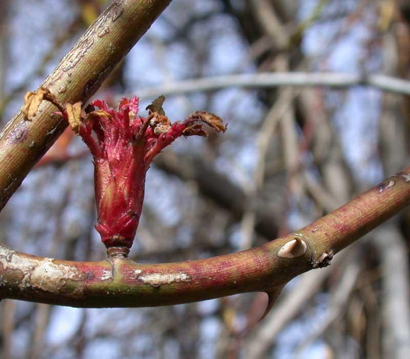 thorn-leafbud.jpeg